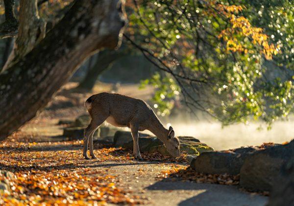 sika-deer-5772242_1920